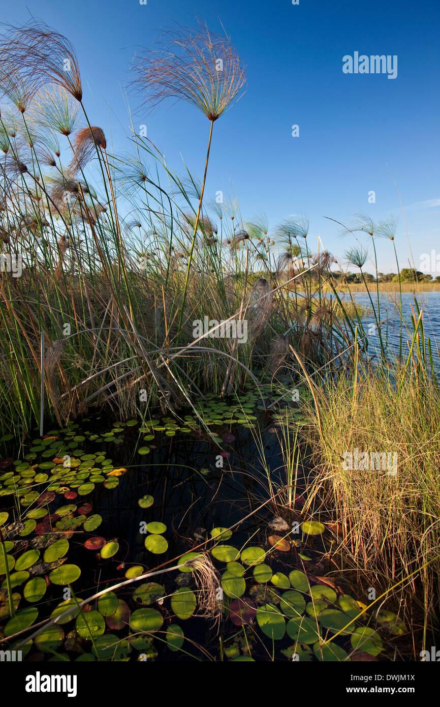 Reeds of the Okavango Delta in Botswana - Stock Image