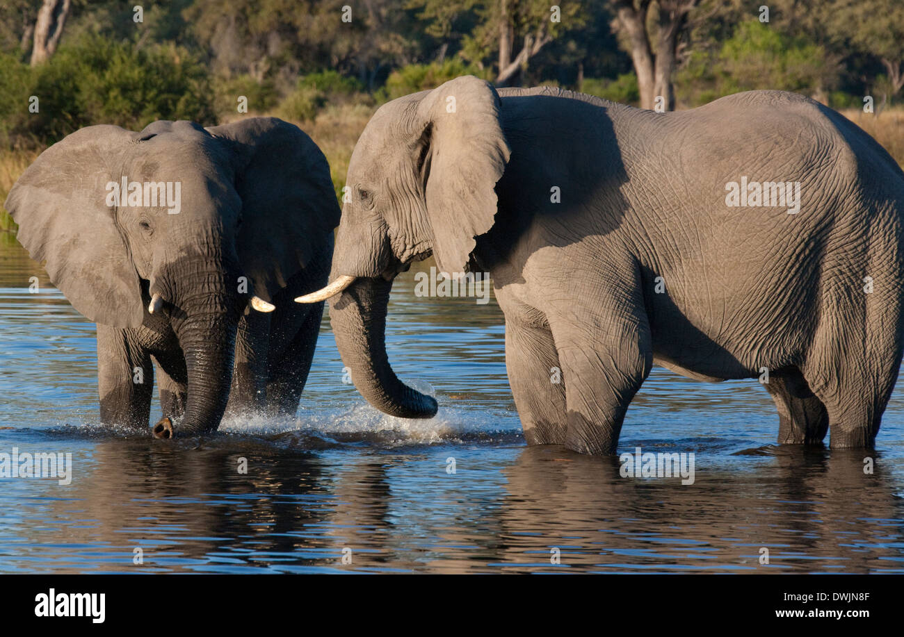 African Elephants (Loxodonta africana) in a waterhole in the Savuti region of Botswana - Stock Image
