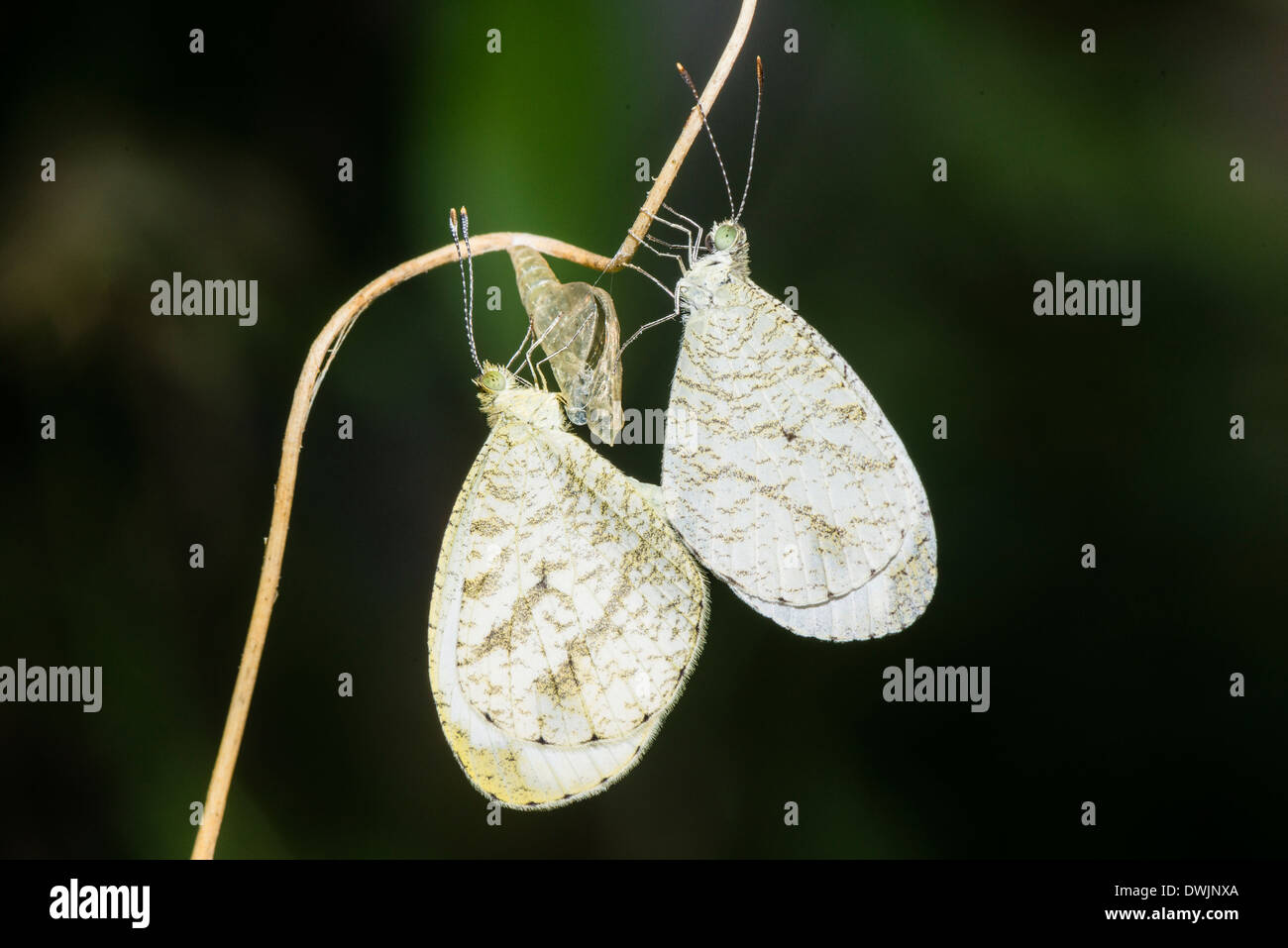 A pair of mating Wood Whites - Stock Image