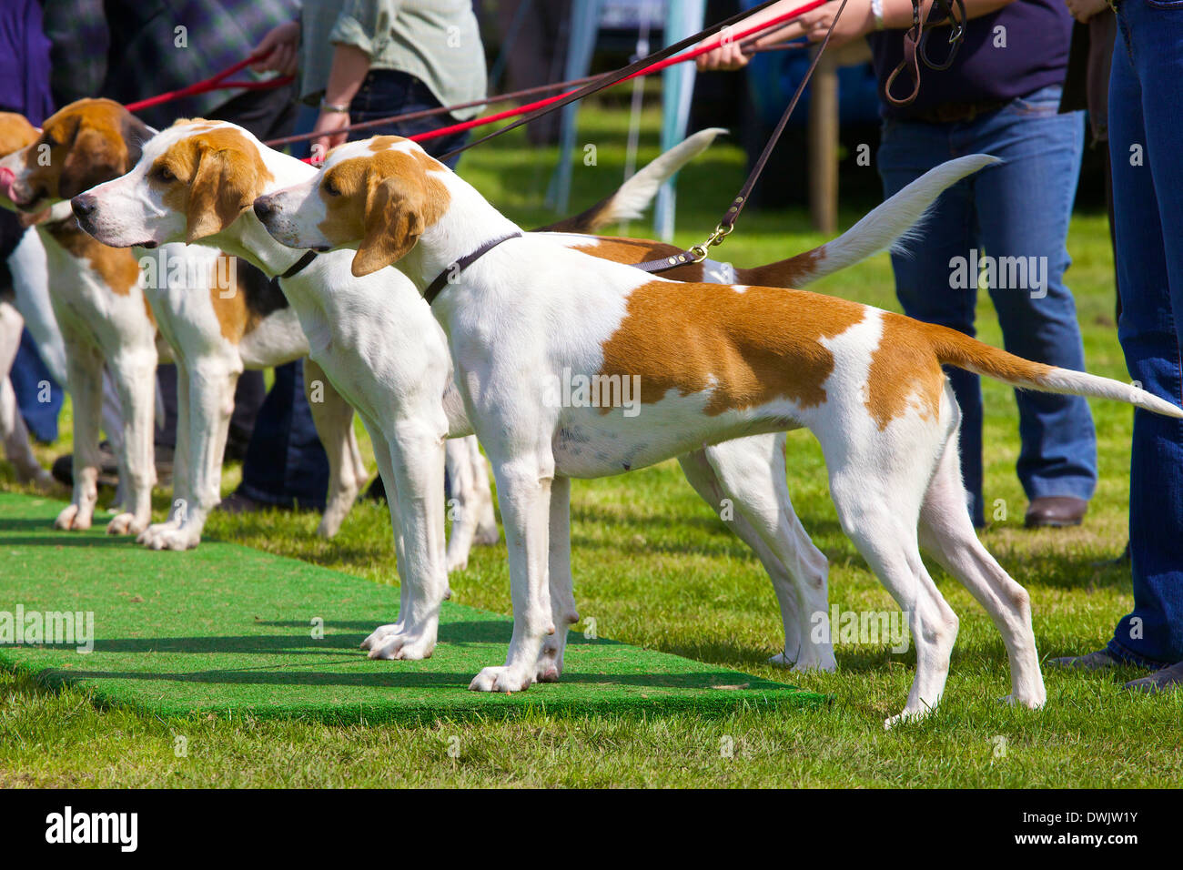 Fox Hounds being shown by theyr owners at Threlkeld Show, Threlkeld, Keswick, Lake District, Cumbria, England, UK - Stock Image
