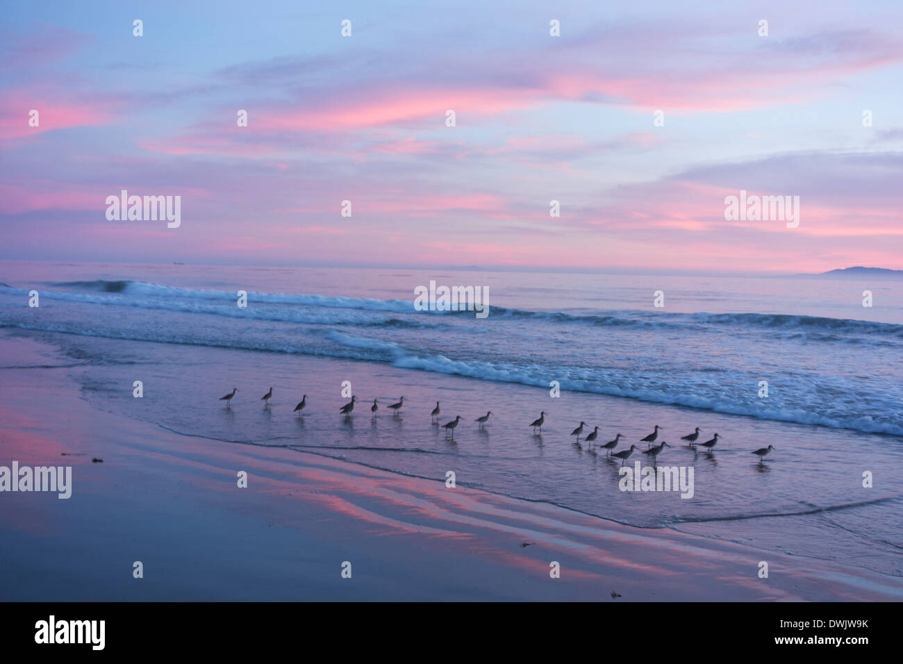 sandpipers at sunset on beach at sunset along the pacific Ocean on the Central Coast of California near Santa Barbara, USA - Stock Image