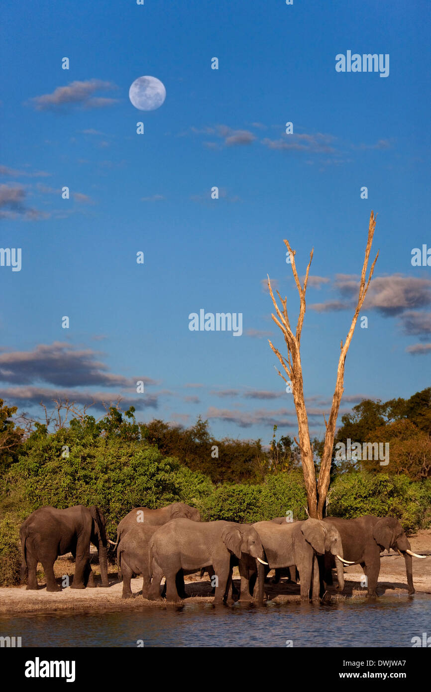 A group of African Elephants (Loxodonta africana) on the banks of the Chobe River in Chobe National Park in Botswana. - Stock Image