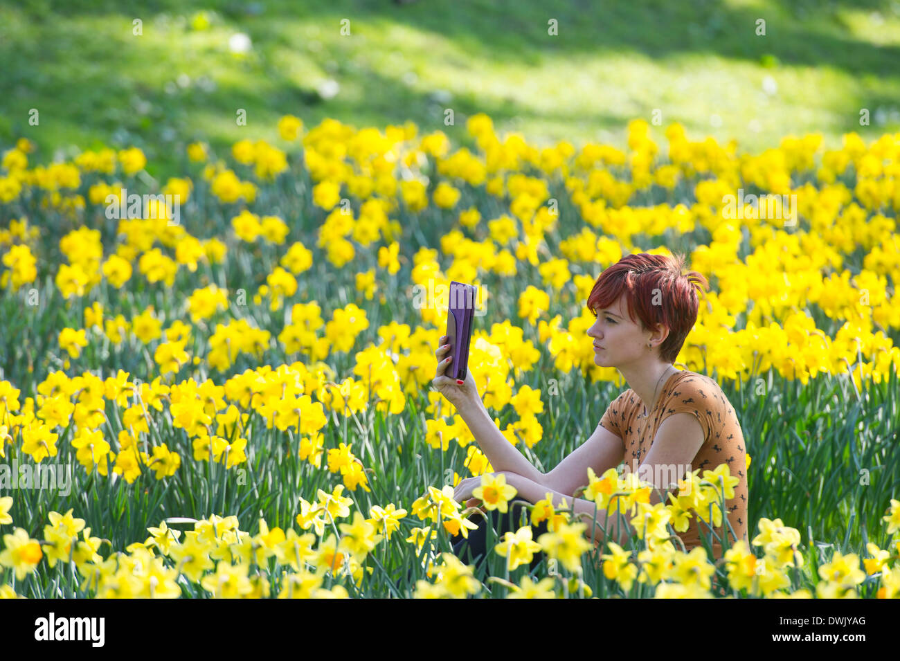 A girl reads an Ebook in the countryside surrounded by daffodils - Stock Image