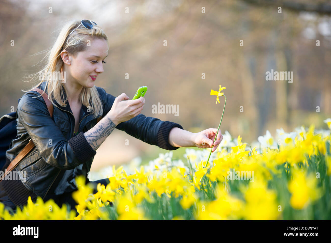 A girl photographs a daffodil flower using her smartphone. Stock Photo
