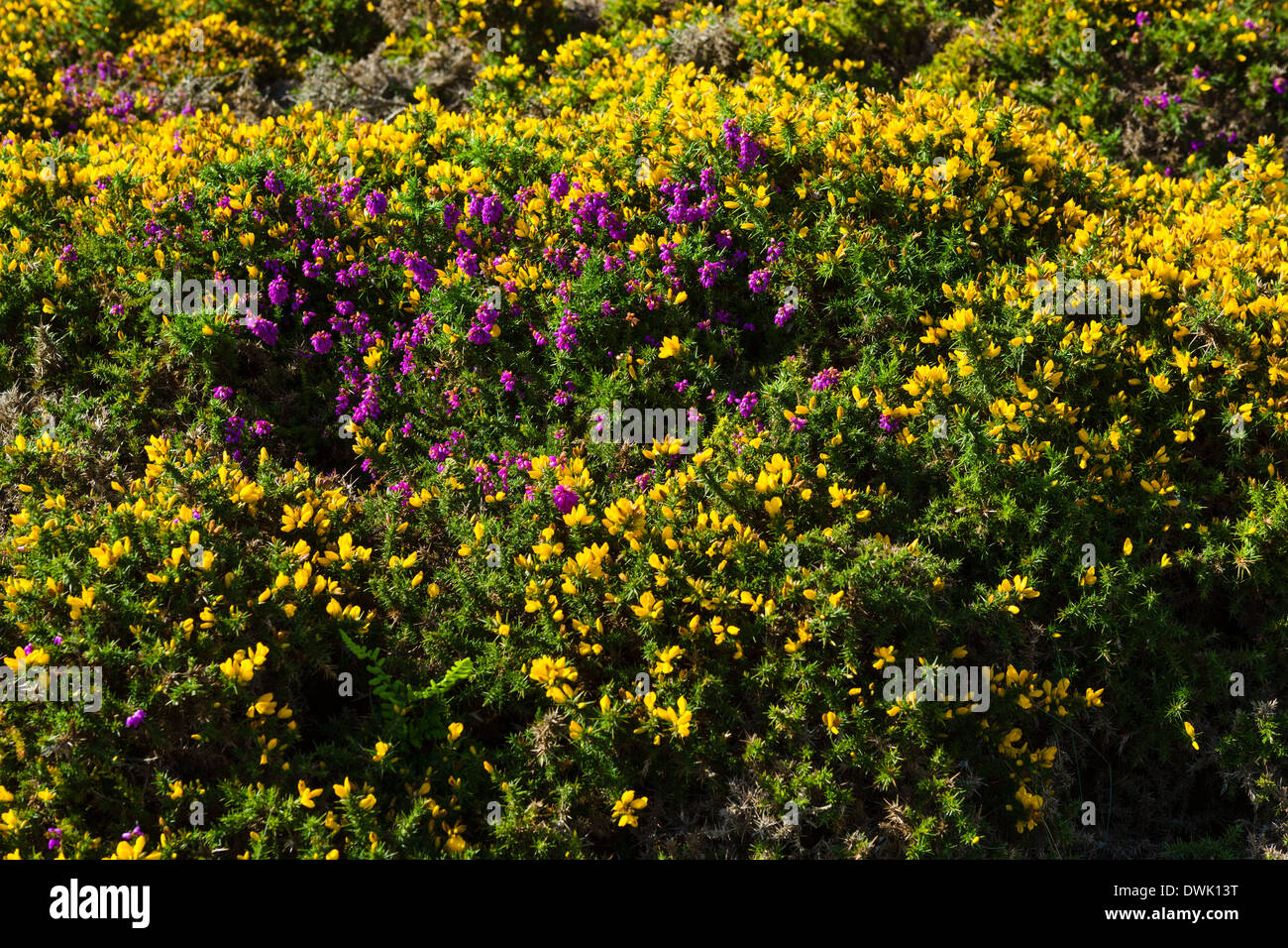 Gorse and heather on the hillside, The Great Orme, Llandudno, Conwy, North Wales, UK - Stock Image