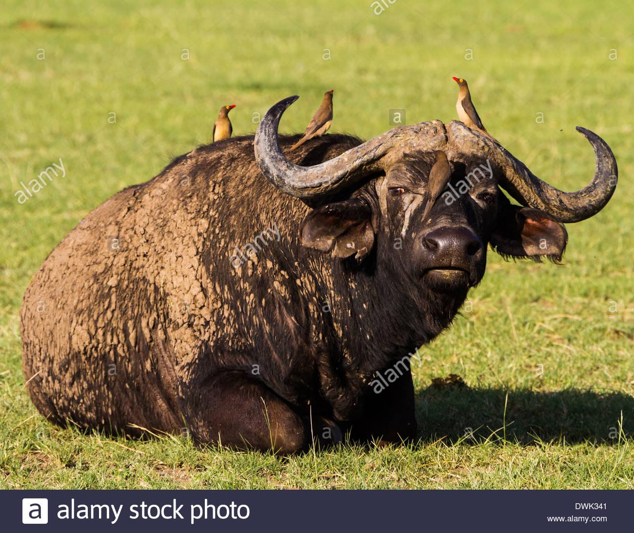Birds perching on african buffalo - East Africa - Tanzania - Stock Image