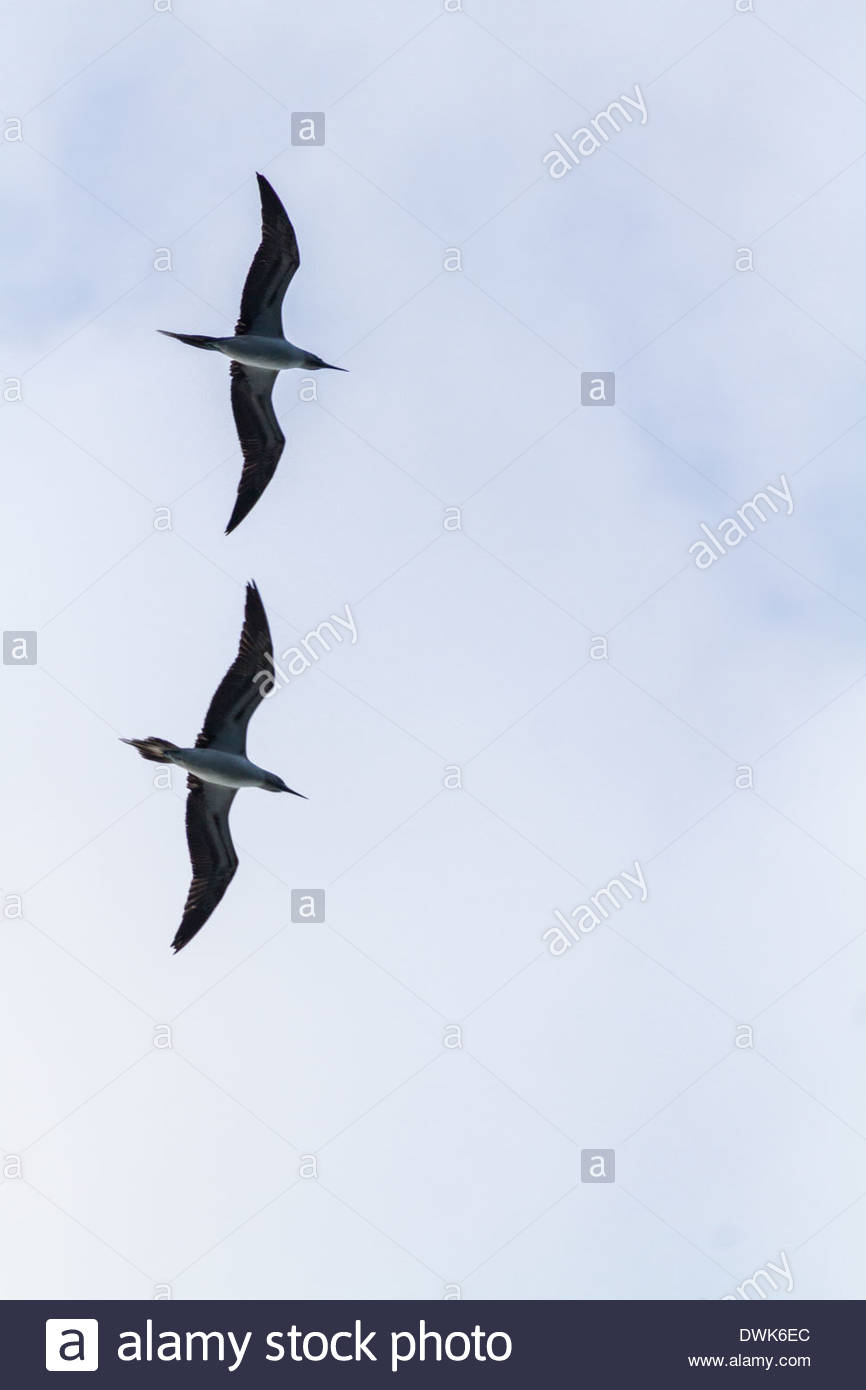 View of frigate birds flying - Mexico - Stock Image