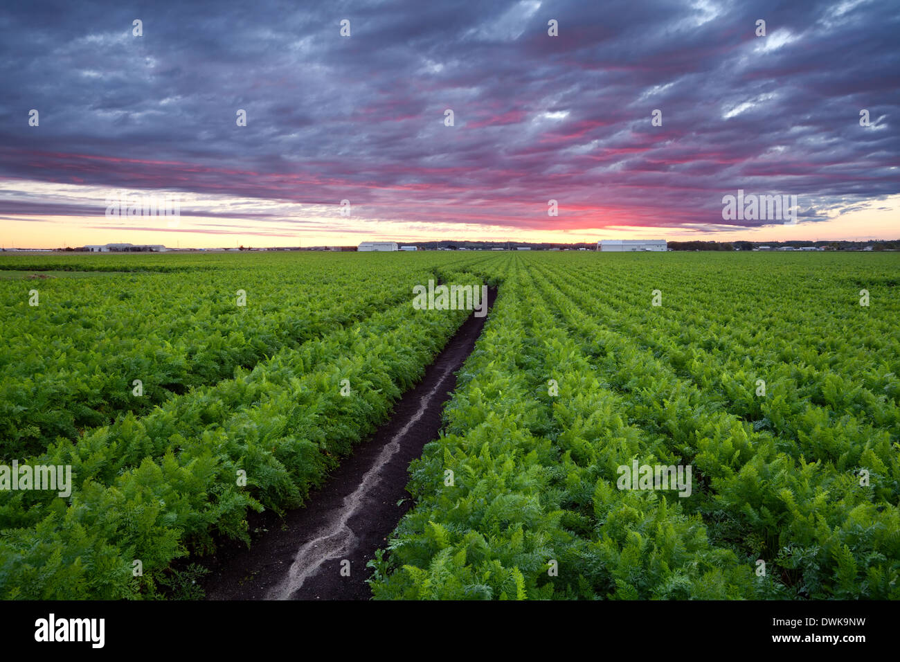 A mature field of carrots in the Holland marsh in Bradford West Gwillimbury, Ontario, Canada. - Stock Image