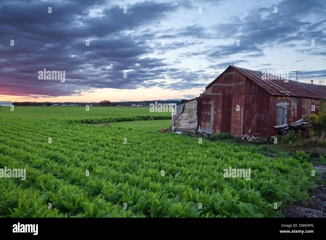 A dilapidated shed sits next to a field of mature carrots in the Holland Marsh, Bradford West Gwillimbury, Ontario, Canada. - Stock Image