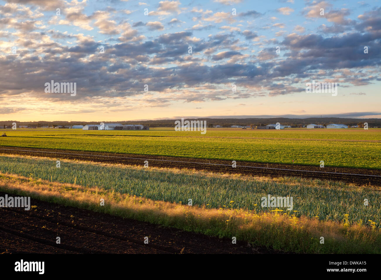 Farm fields (onion and carrot) in the early morning in the Holland Marsh. Bradford West Gwillimbury, Ontario, Canada. - Stock Image