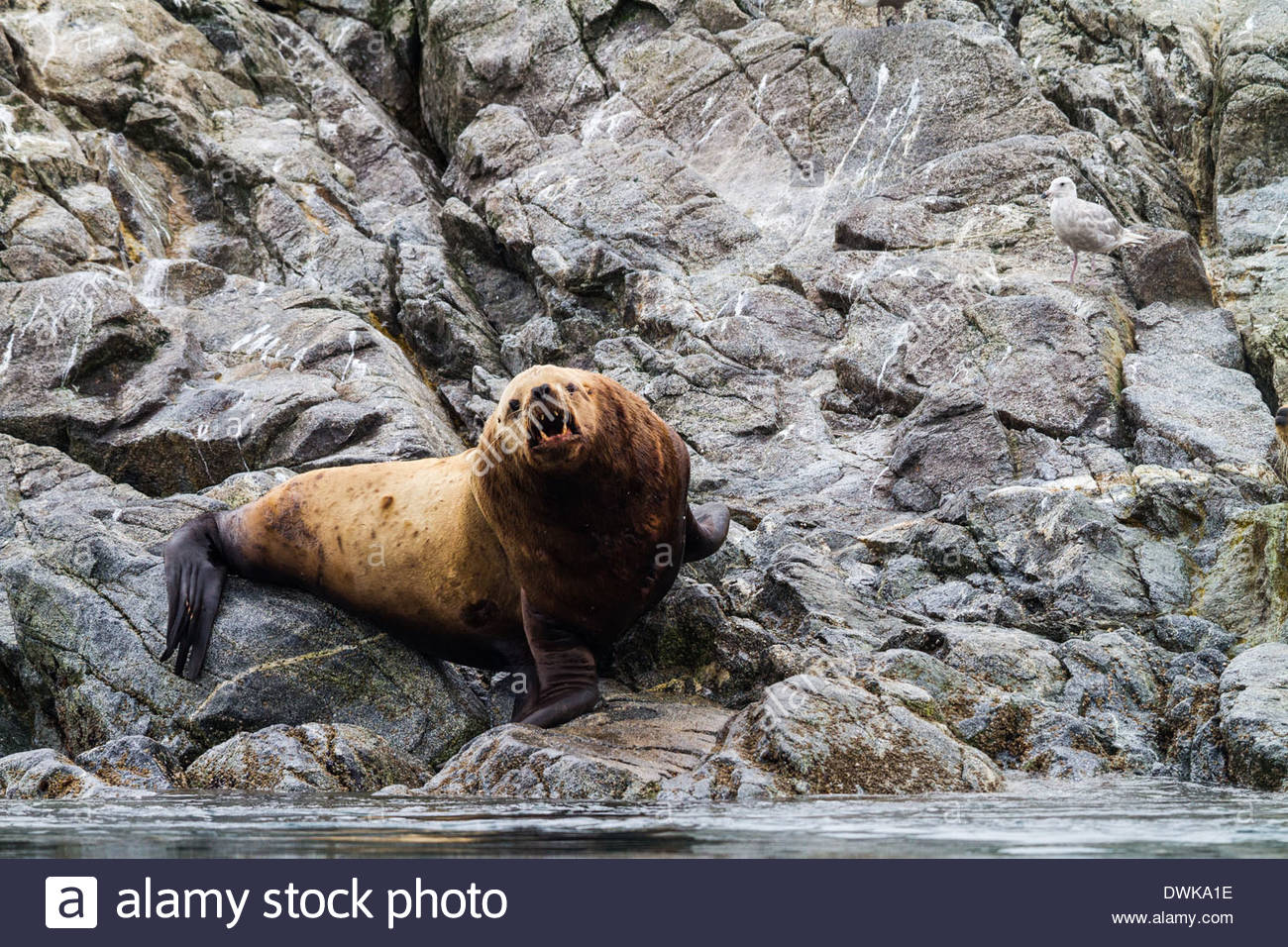 An angry looking stellar sea lion bull bares its teeth to passersby on a rocky shore, Alaska, USA - Stock Image
