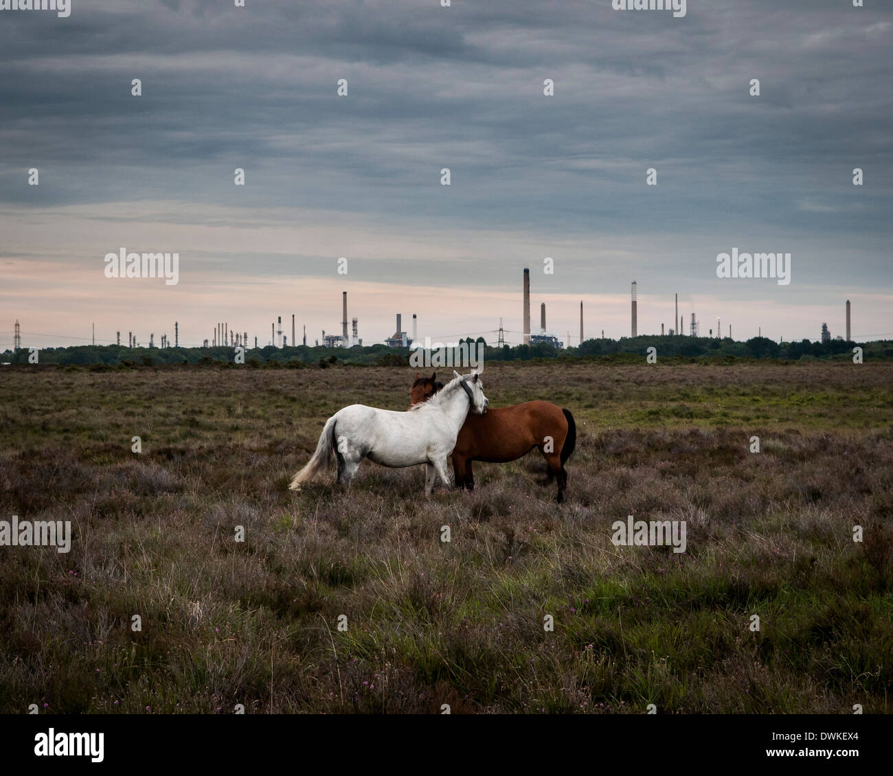 Fawley Oil Refinery, Fawley, United Kingdom. Architect: Various / unknown, 1951. Two new forest ponies with the Stock Photo