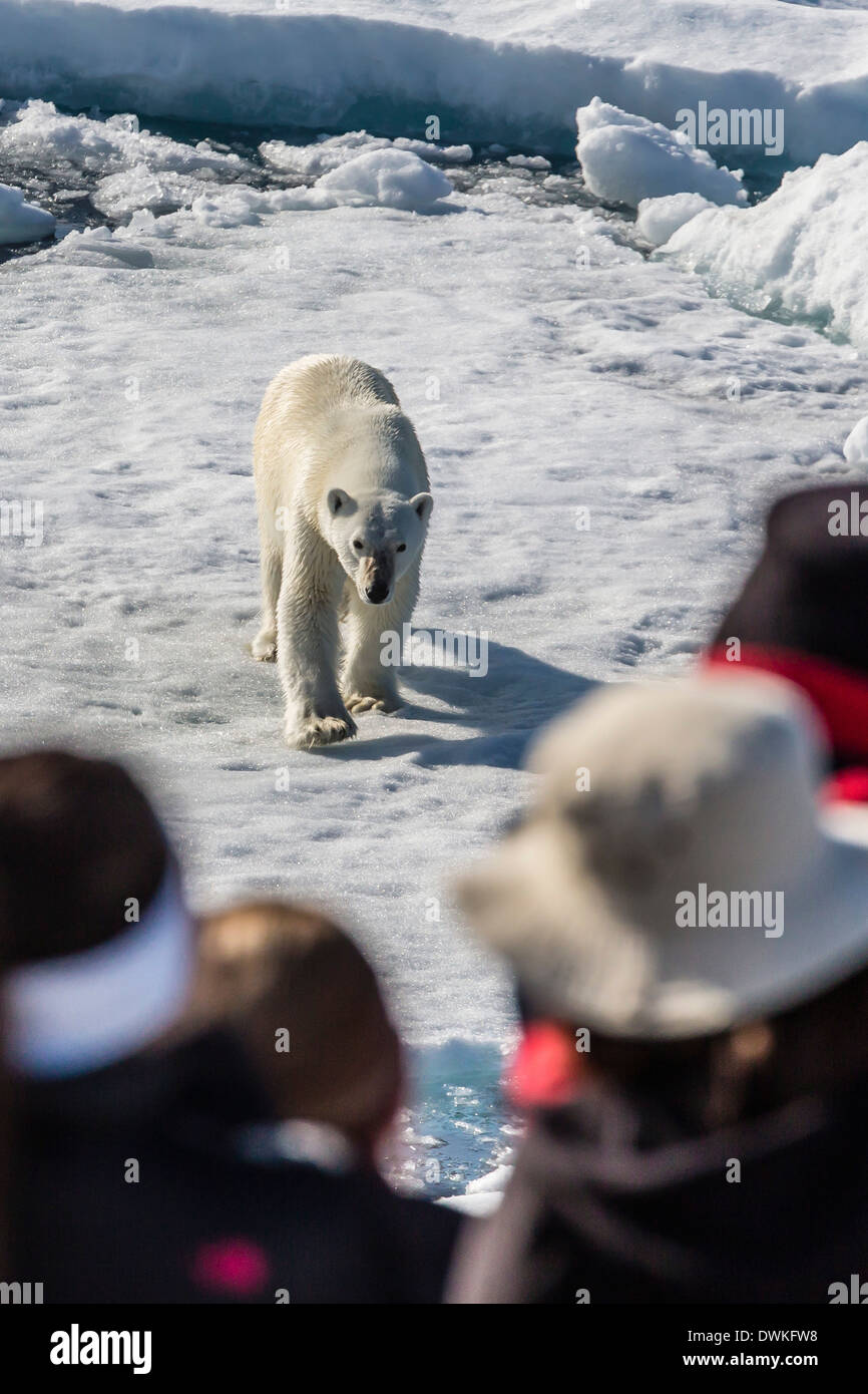 Guests from the Lindblad Expedition ship with polar bear (Ursus maritimus), Cumberland Peninsula, Baffin Island, Nunavut, Canada - Stock Image