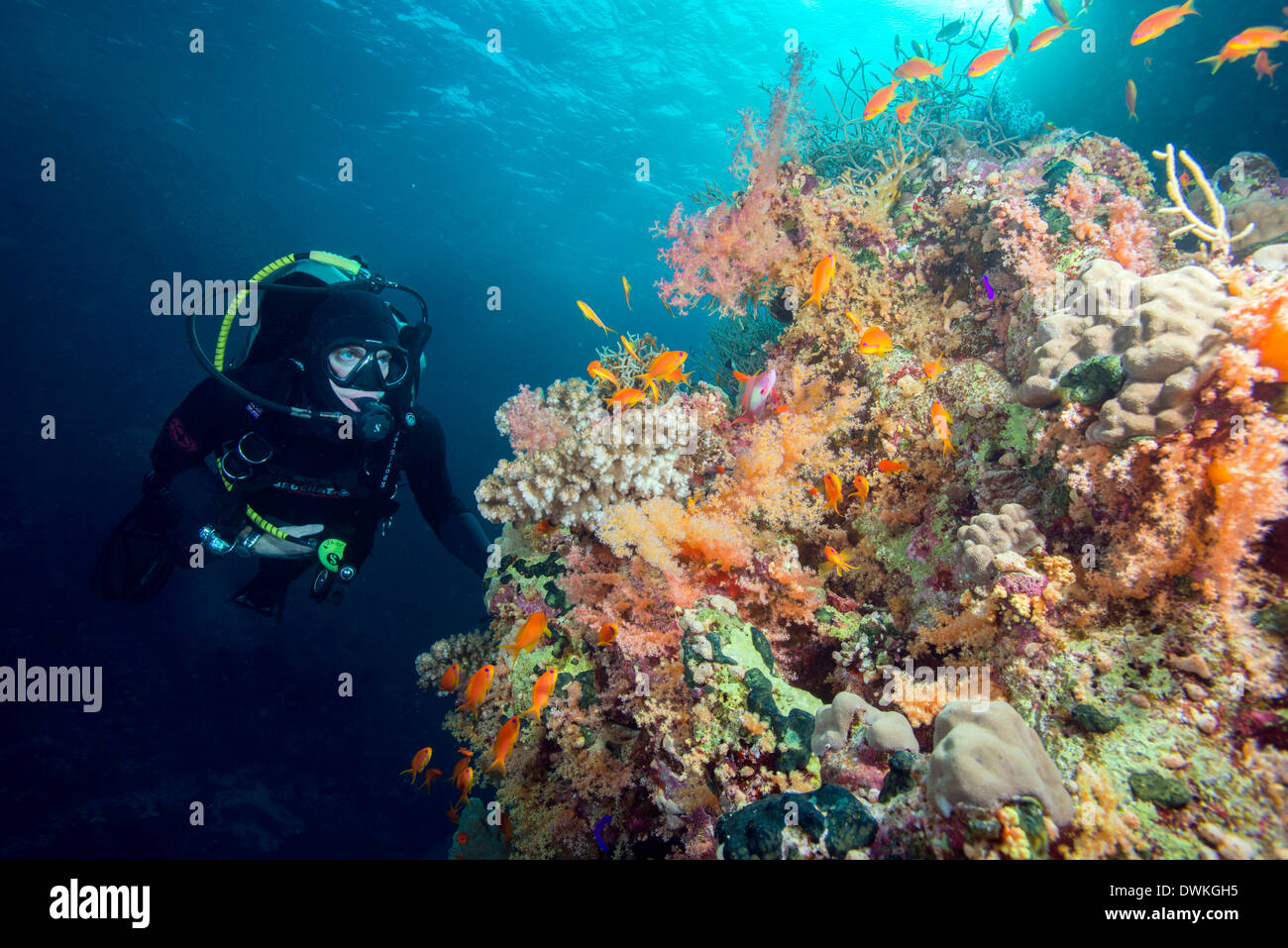 Diver and hard and soft coral reef and lyre tail anthias (Pseudanthias squamipinnis), Marsa Alam, Egypt, Red Sea, North Africa - Stock Image