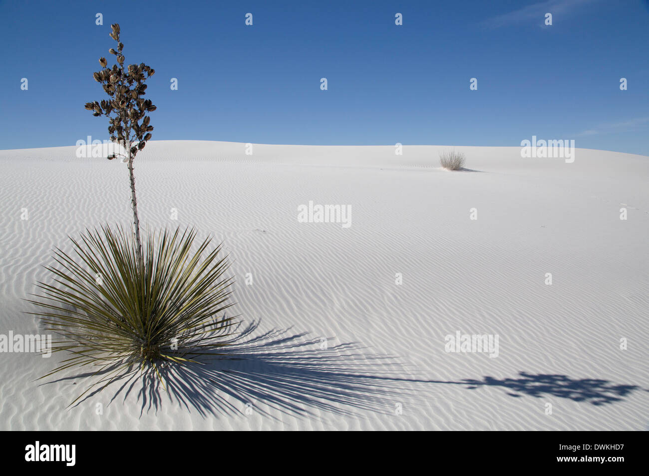 Yucca elata plant at the White Sands National Monument, the world's largest gypsum dunefield, New Mexico - Stock Image