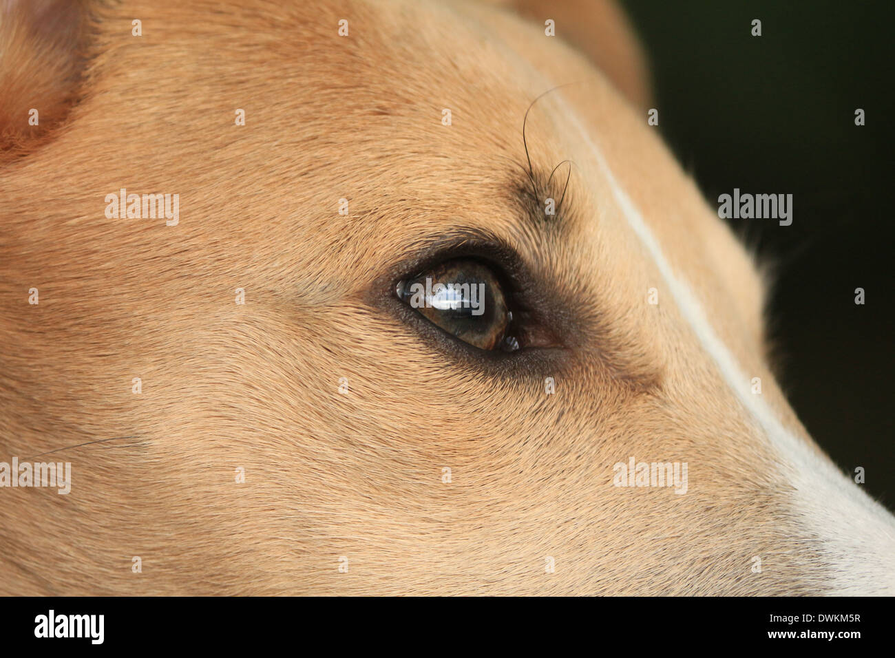Eye of Whippet - Stock Image