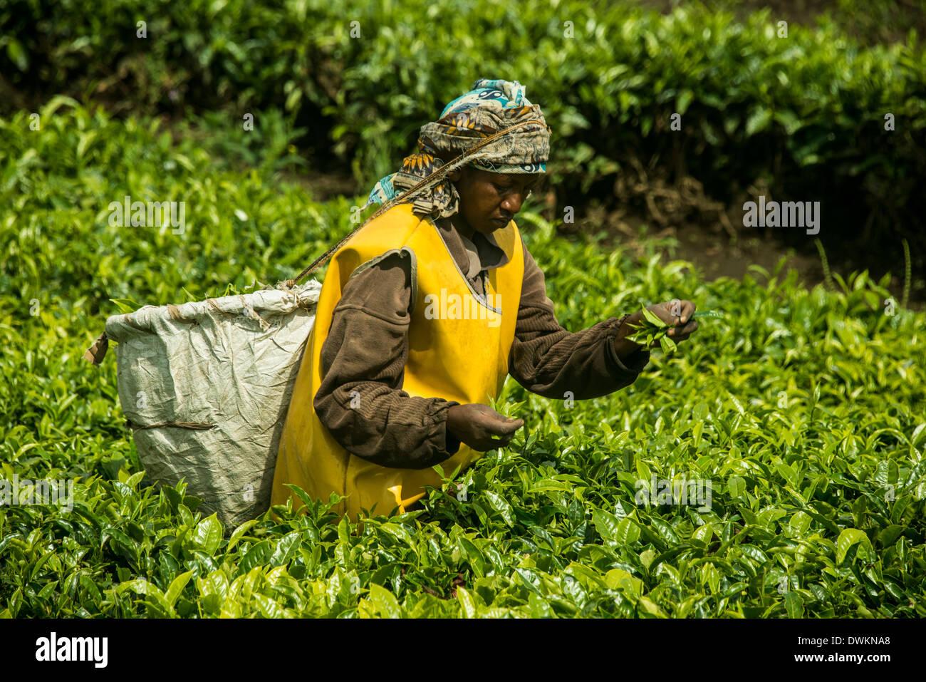 Tea plantation in the Virunga mountains, Rwanda, Africa - Stock Image