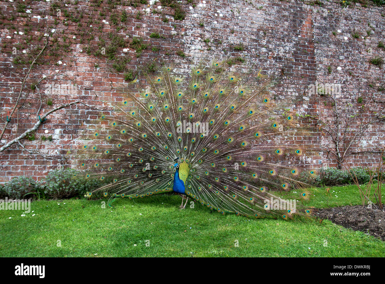 male peacock displaying tail feathers - Stock Image