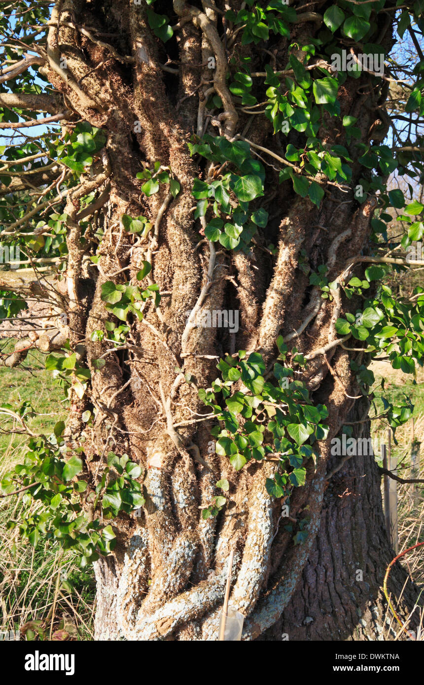 Substantial Ivy stems clinging to the trunk of an English Oak tree in the Norfolk countryside. - Stock Image