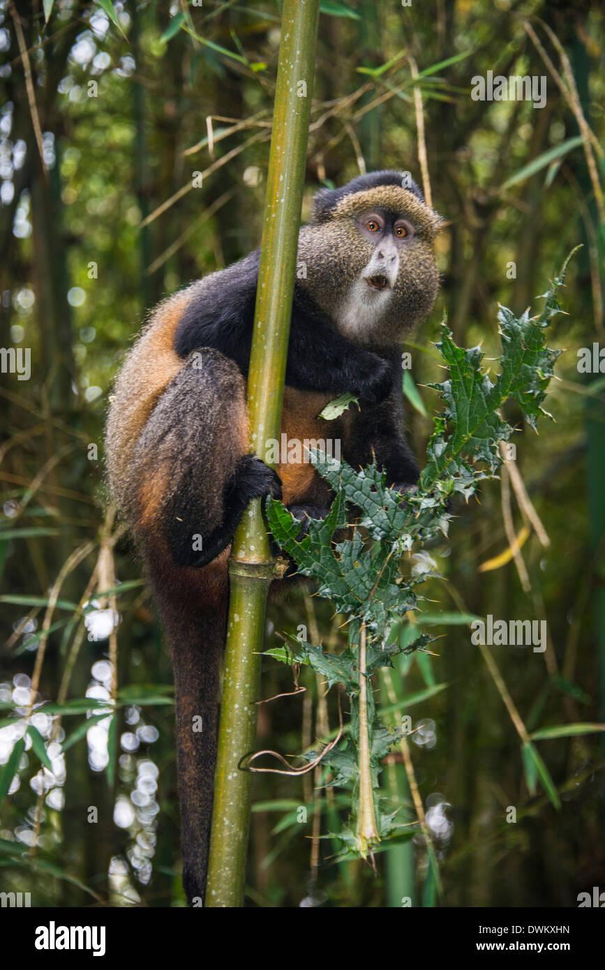 Golden monkey (Cercopithecus kandti), Virunga National Park, Rwanda, Africa - Stock Image