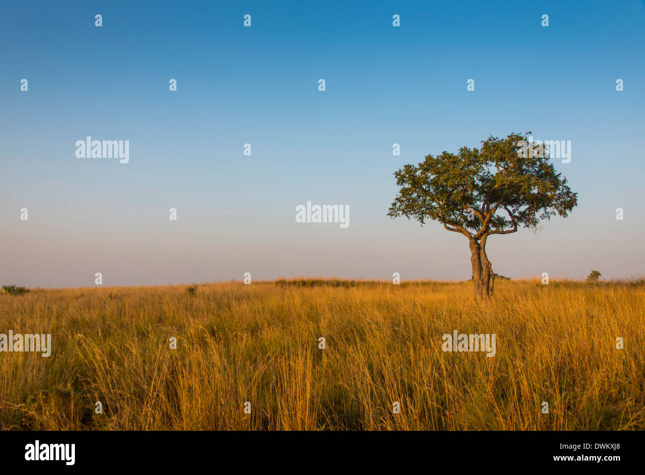 Lonely tree in the Savannah of the Murchison Falls National Park, Uganda, East Africa, Africa - Stock Image