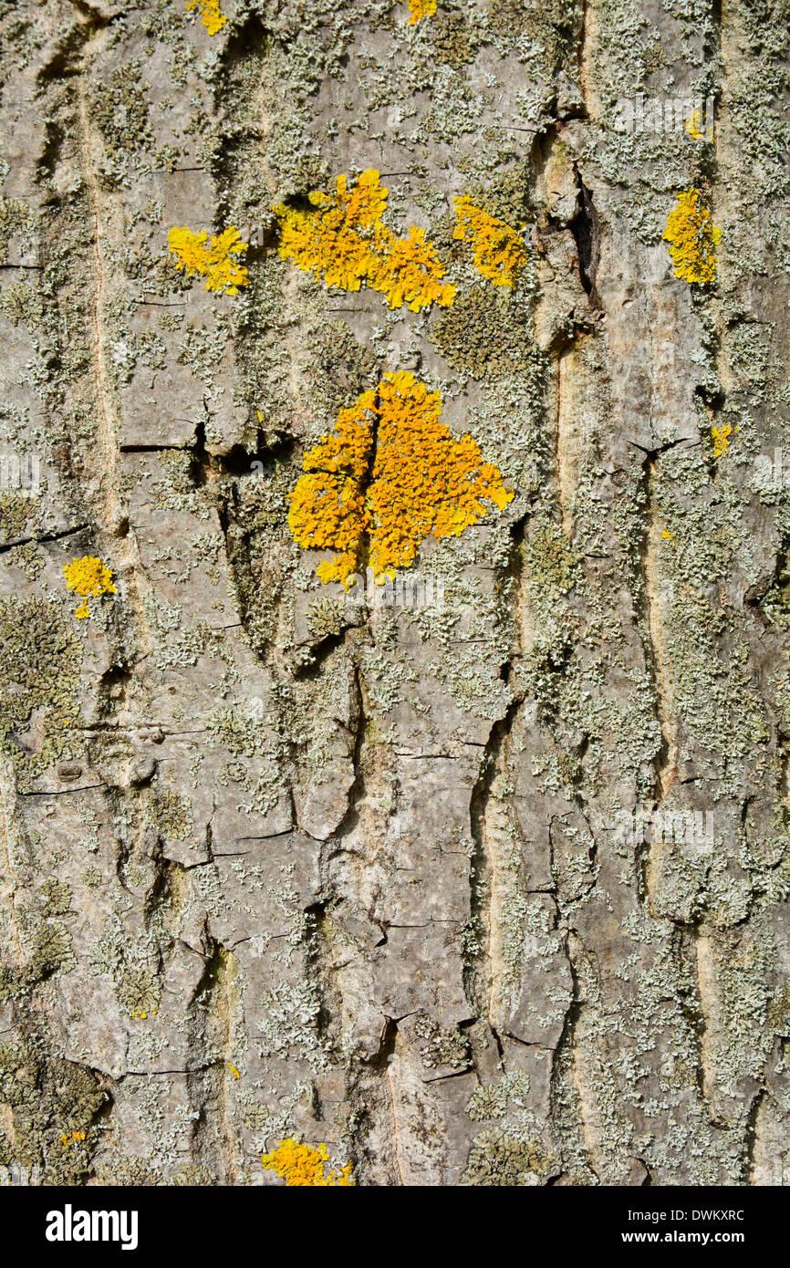 Yellow Bark lichen on a tree macro texture backgroundBaumstamm Baumrinde grau beige braun mit gelber Flechte Hintergrund Textur Stock Photo