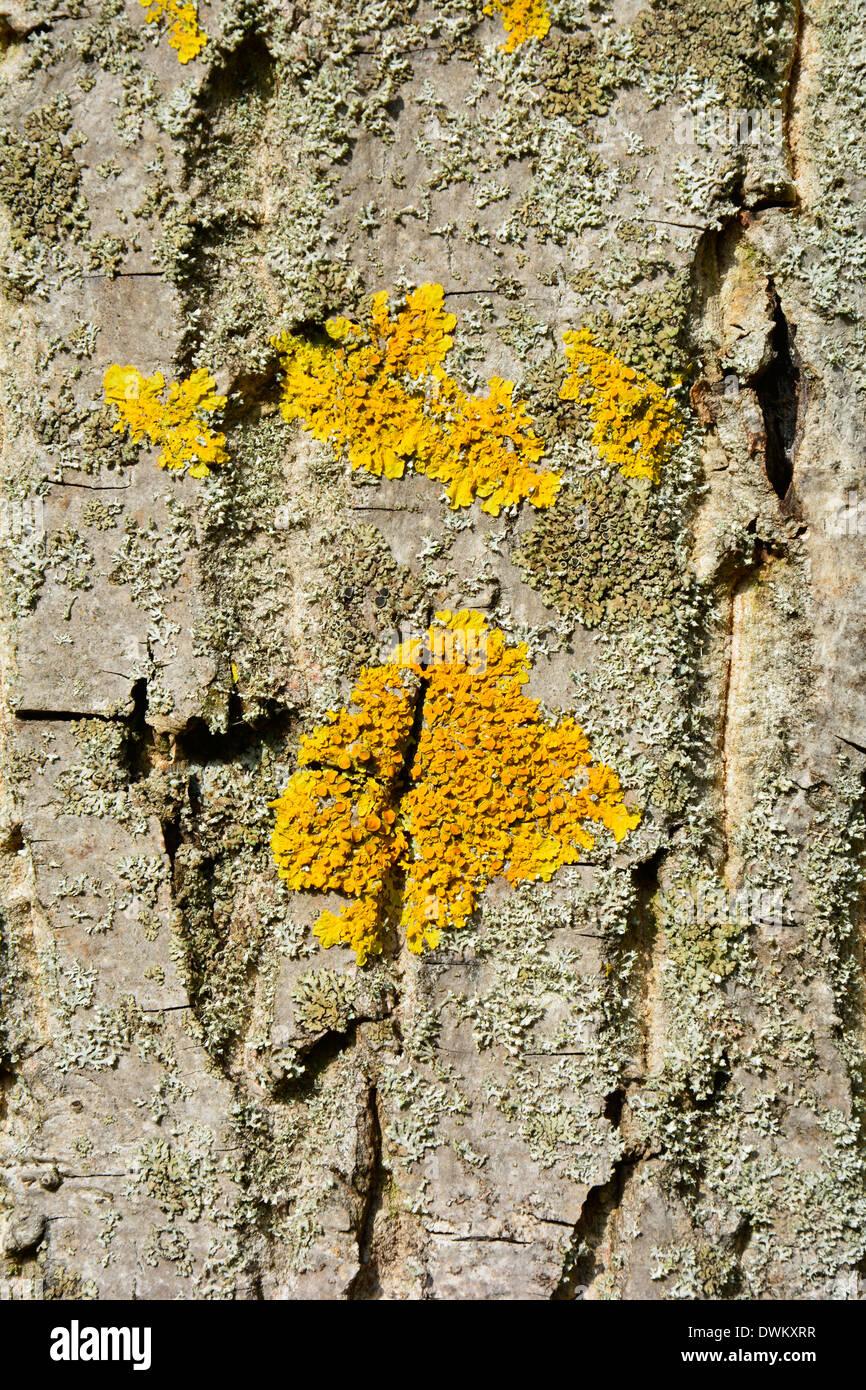Yellow lichen on a tree bark macro texture close up Baumstamm Baumrinde grau beige braun mit gelber Flechte Hintergrund Textur Stock Photo