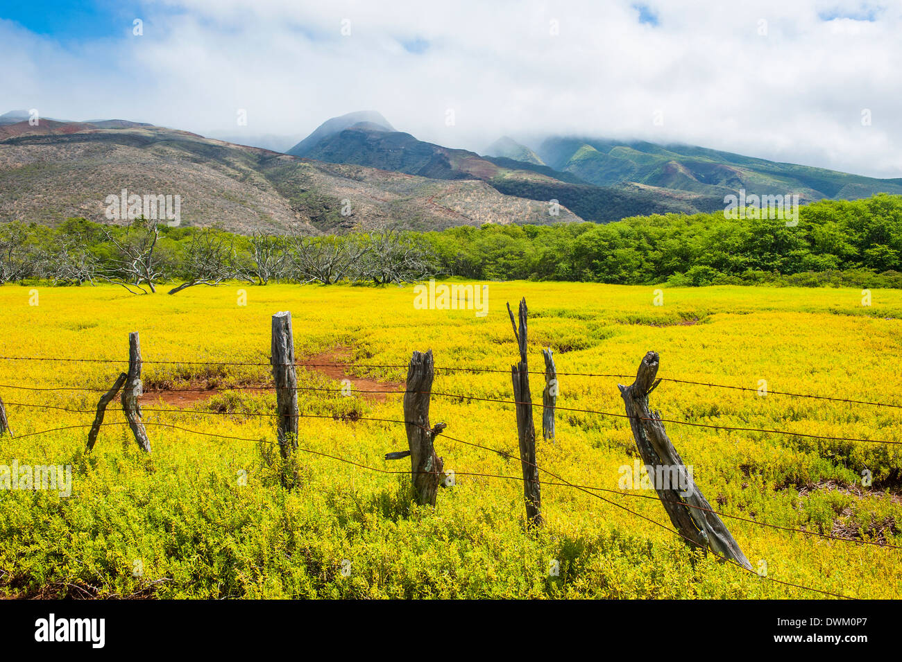 Fenced field of yellow flowers, Island of Molokai, Hawaii, United States of America, Pacific - Stock Image