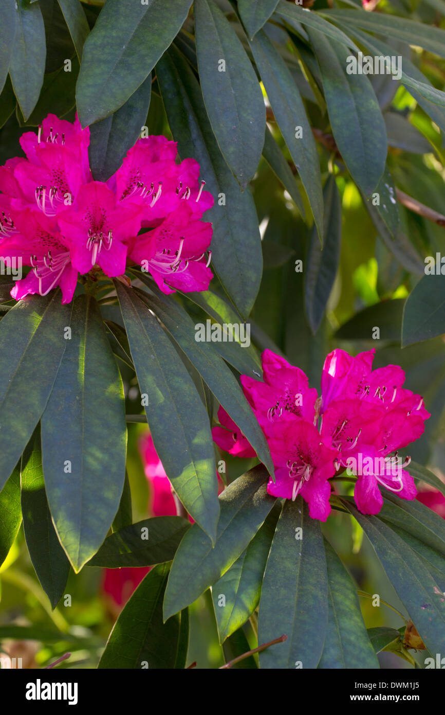 Flowers of the large tree rhododendron, Rhododendron arboreum - Stock Image