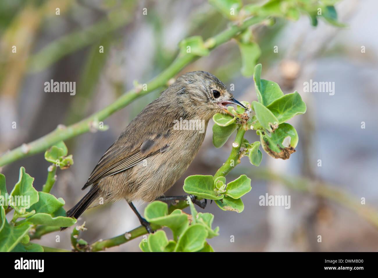 Warbler finch (Certhidea olivacea), Genovesa Island, Galapagos, UNESCO World Heritage Site, Ecuador, South America - Stock Image