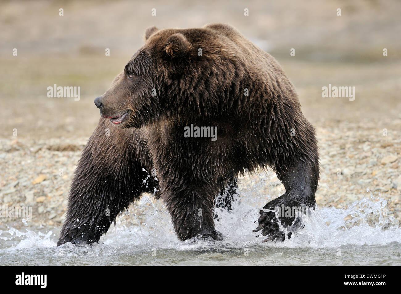 Grizzly bear (Ursus arctos horribilis) fishing in water, Katmai national park, Alaska, USA. Stock Photo