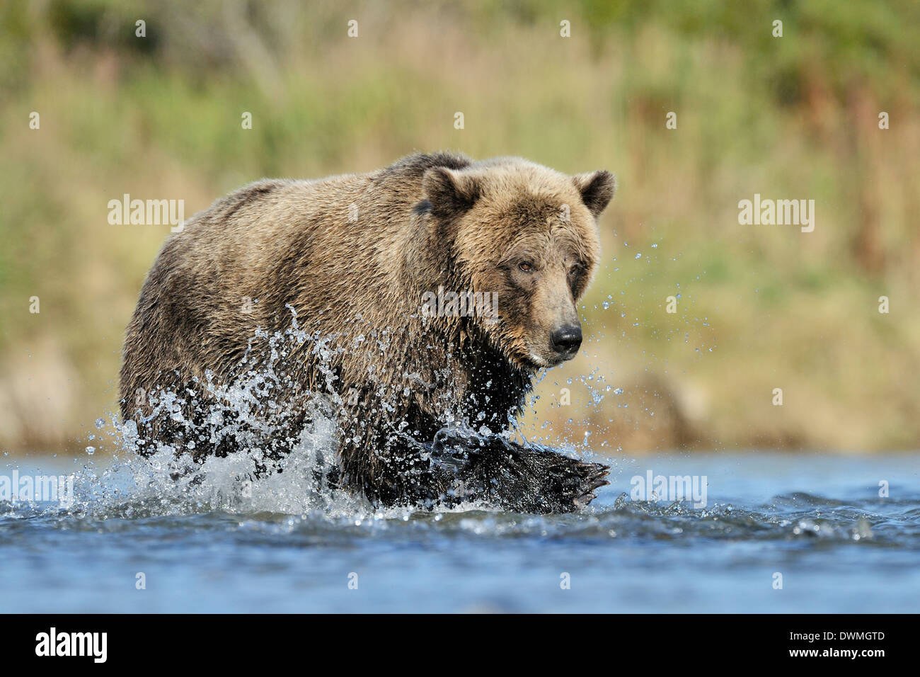 Grizzly bear (Ursus arctos horribilis) fishing in water and fish in front. - Stock Image