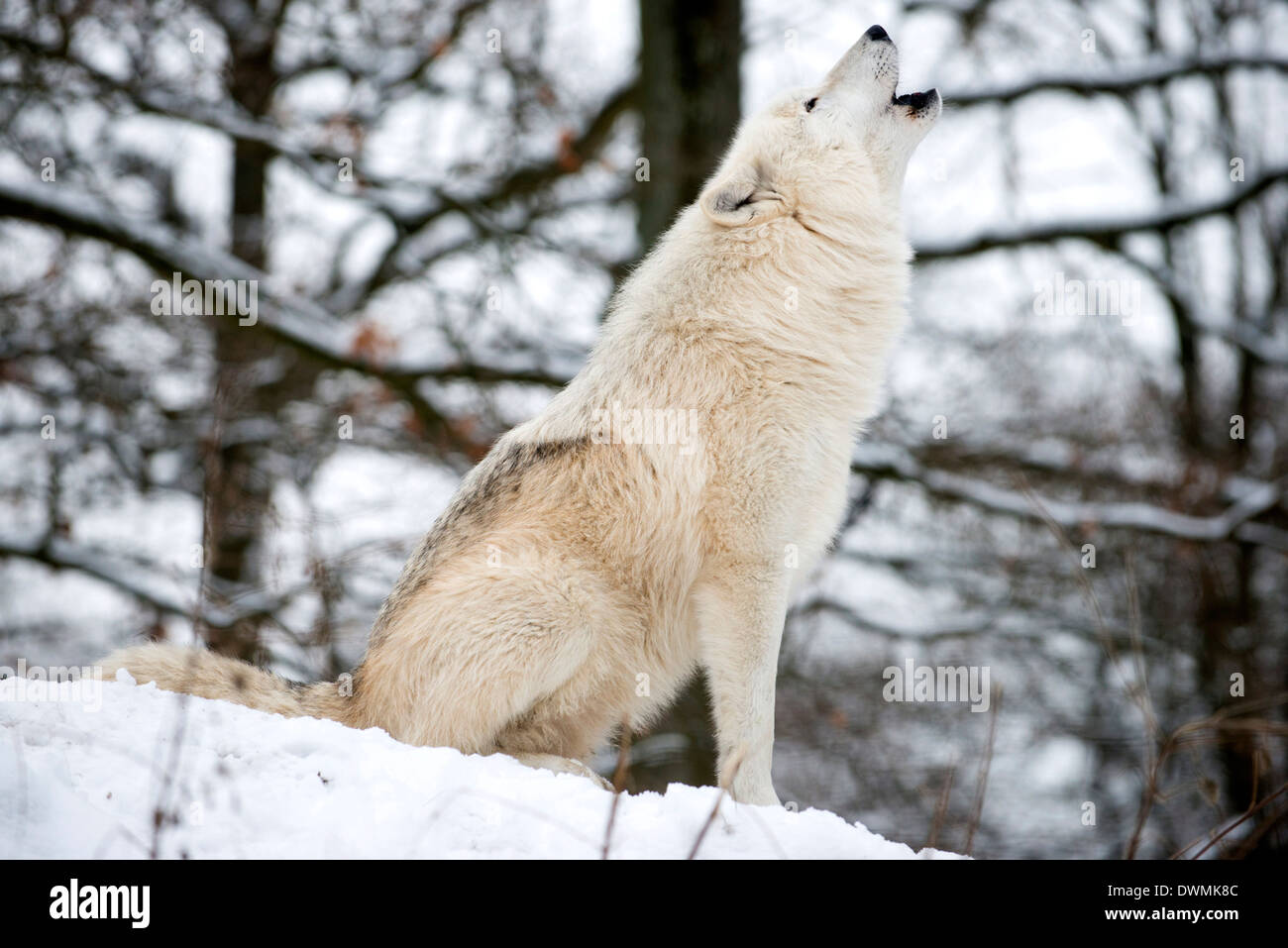 North American Timber wolf, Canis Lupus howling in the snow in deciduous forest. - Stock Image