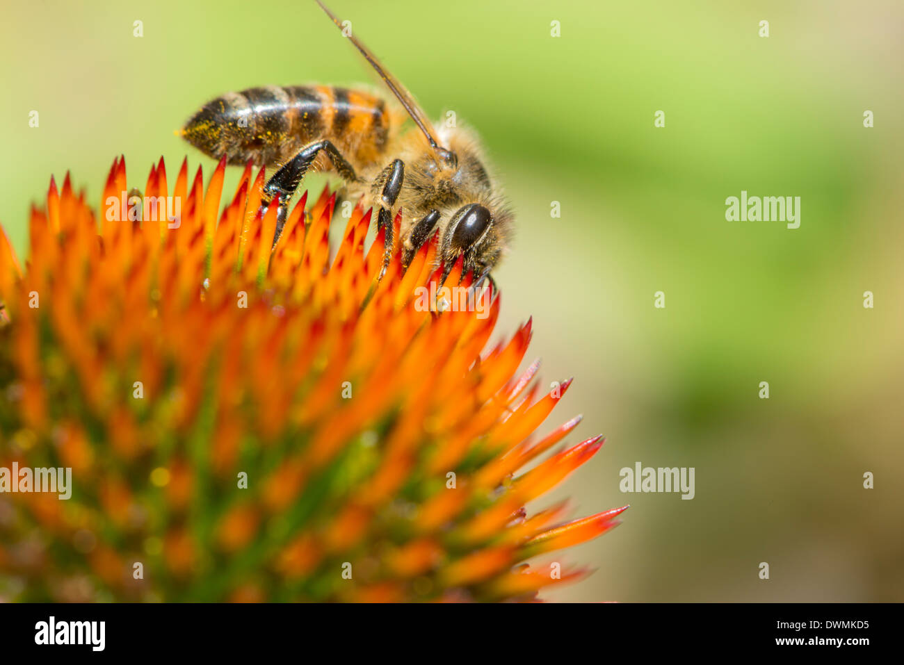 Honey bee (Apis mellifera) feeding on Echinacea sp. (cone flower) nectar, England, United Kingdom, Europe - Stock Image