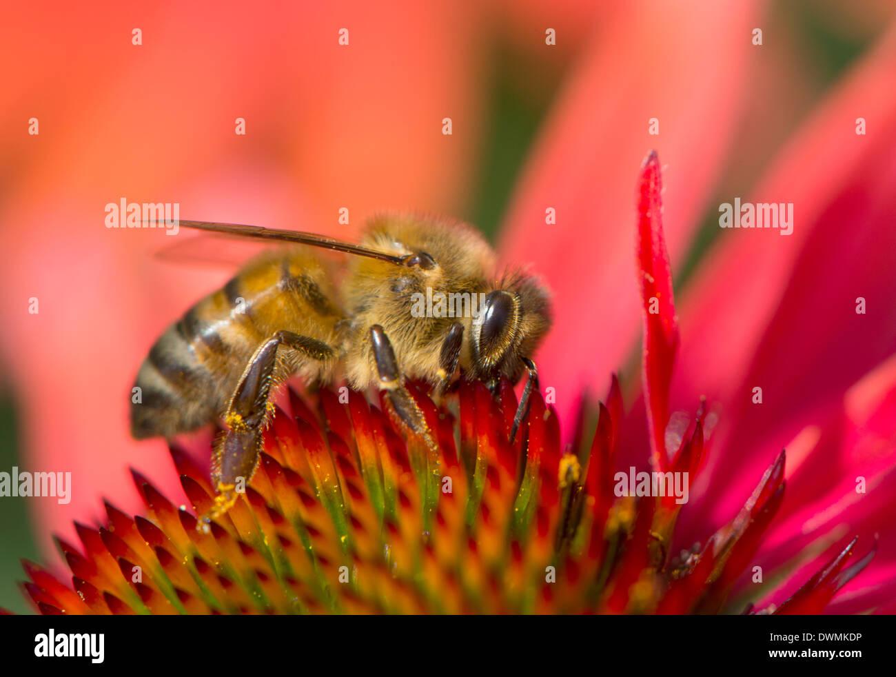 Honey bee (Apis mellifera) feeding on Echinacea sp. (cone flower) nectar, England, United Kingdom, Europe - Stock Image