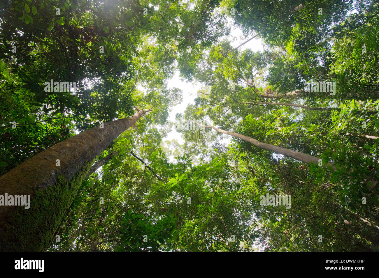 Tall dipterocarp trees in primary rainforest in the Maliau Basin Conservation Area, Sabah, Borneo, Malaysia, Southeast Stock Photo