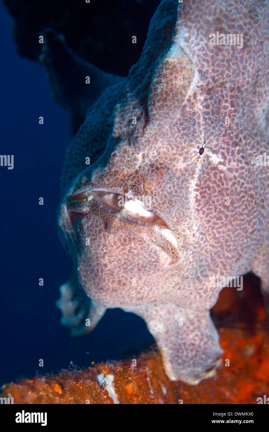 Giant Frogfish (Antennarius commersonii), Celebes Sea, Sabah, Malaysia, Southeast Asia - Stock Image