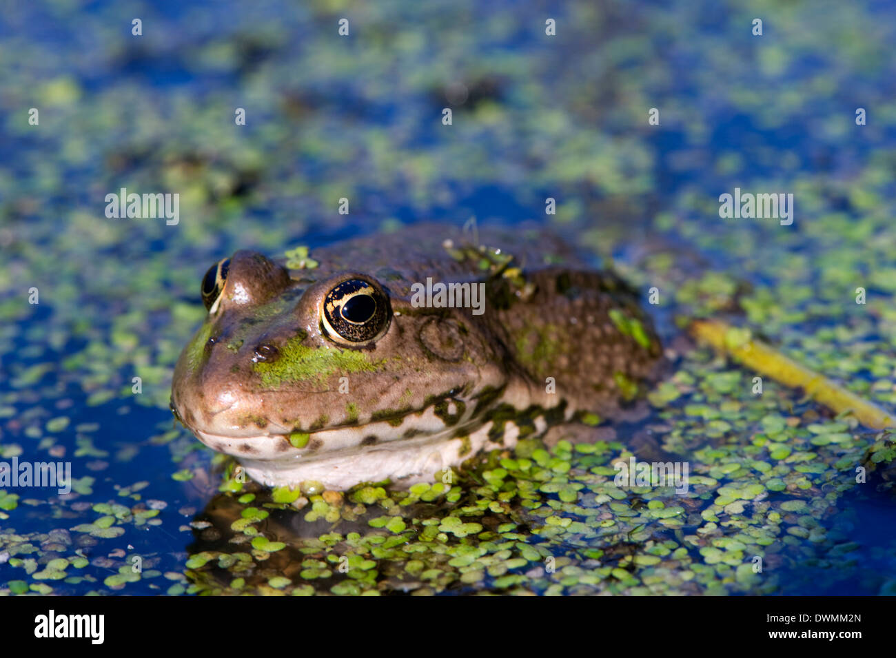 The marsh frog (Pelophylax ridibundu) an escaped garden alien introduced to Kent in 1935, England, United Kingdom, Europe - Stock Image