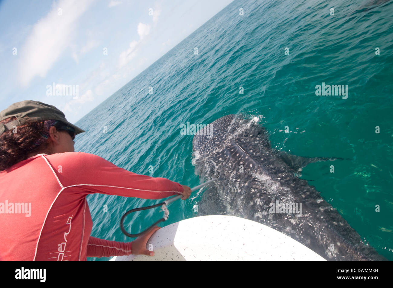 Biologist taking skin sample from a whale shark, Yum Balam Marine Protected Area, Quintana Roo, Mexico - Stock Image