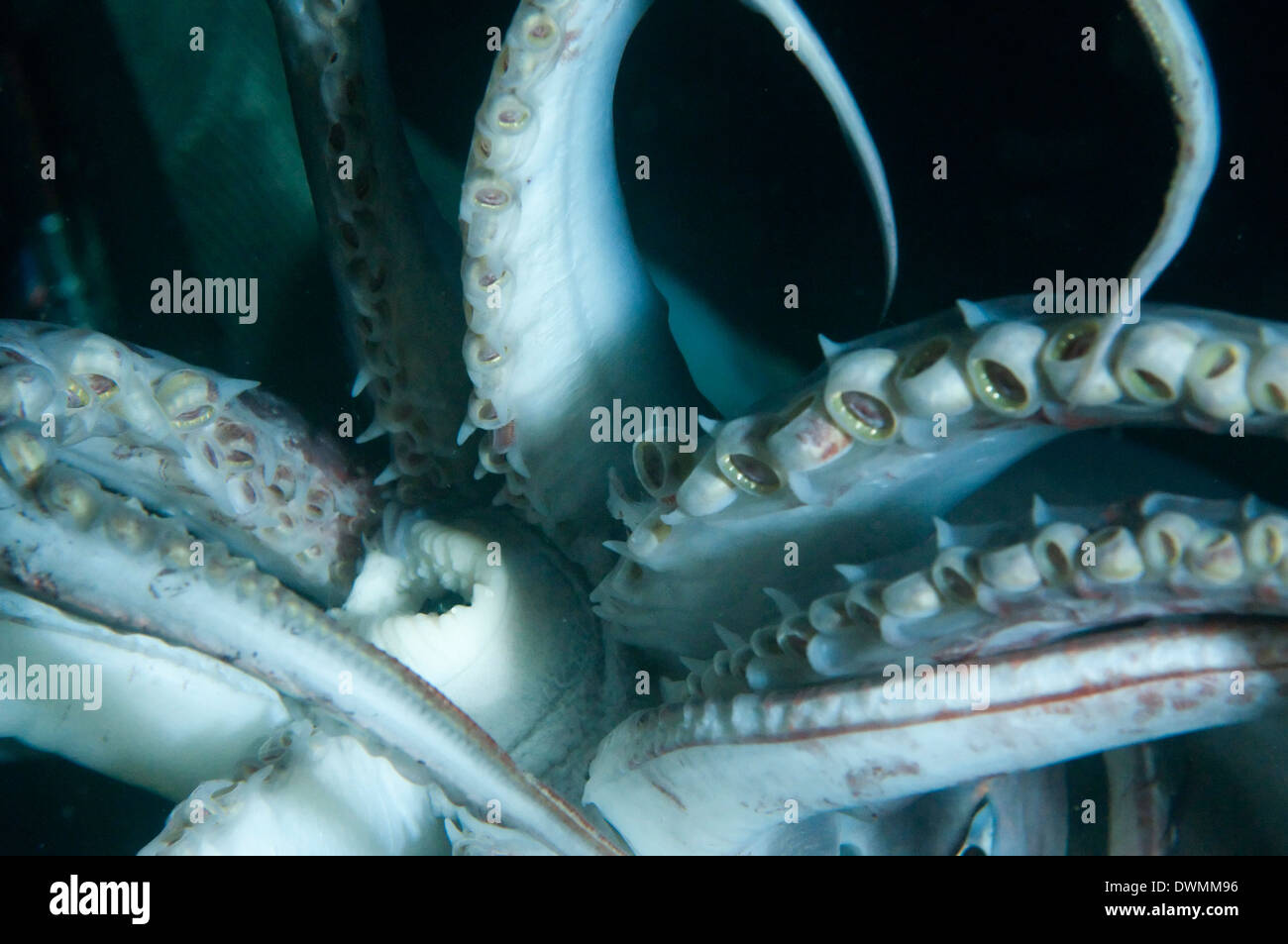 Buccal cavity (mouth) and tentacles of Humboldt (Jumbo) squid (Dosidicus gigas), Gulf of California, Baja California, Mexico - Stock Image