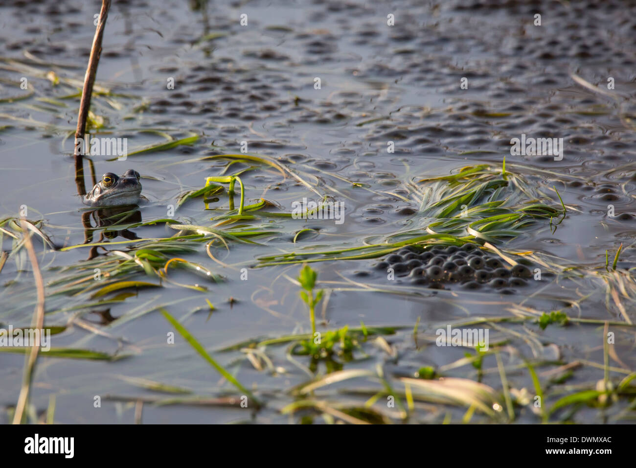 moorfrog (Rana arvalis) ( temporarily blue) overlooking spawn at National Park de Groote Peel in the Netherlands. - Stock Image