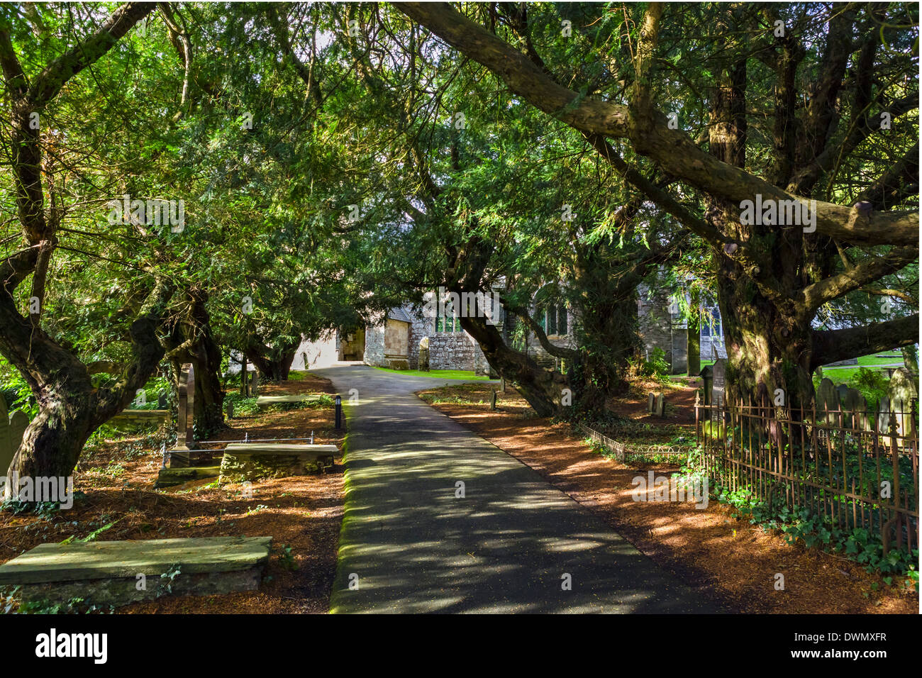 Avenue of Yew trees in the churchyard of St Brynach Church, Nevern, Pembrokeshire, West Wales, UK - Stock Image