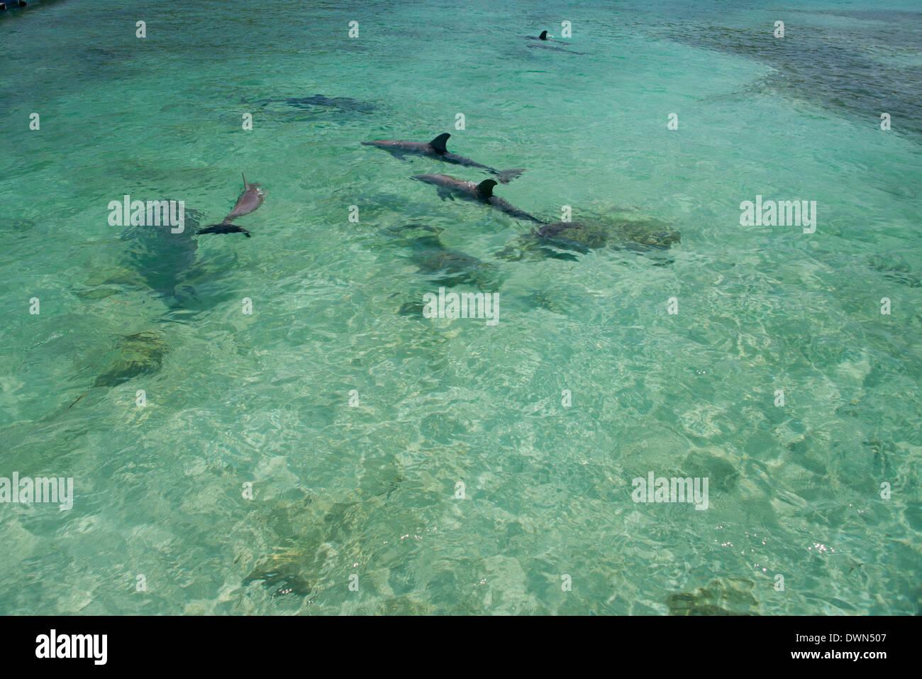 Honduras, Honduran Bay Islands, Roatan. Anthony's Key, pod of bottlenose dolphins (Tursiops truncatus) aka porpoises. Stock Photo