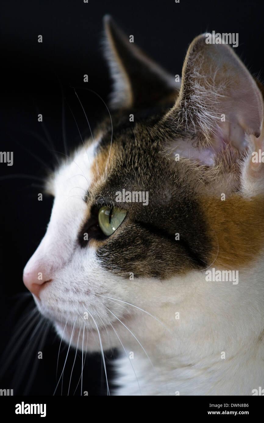Calico Cat Face Stock Photos Amp Calico Cat Face Stock