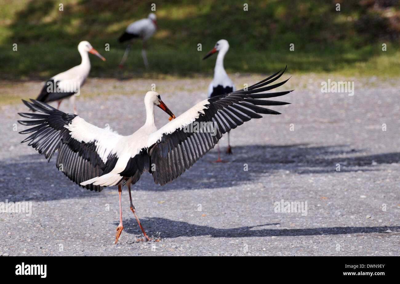 Storks in search of food, one stork with wings spread - Stock Image