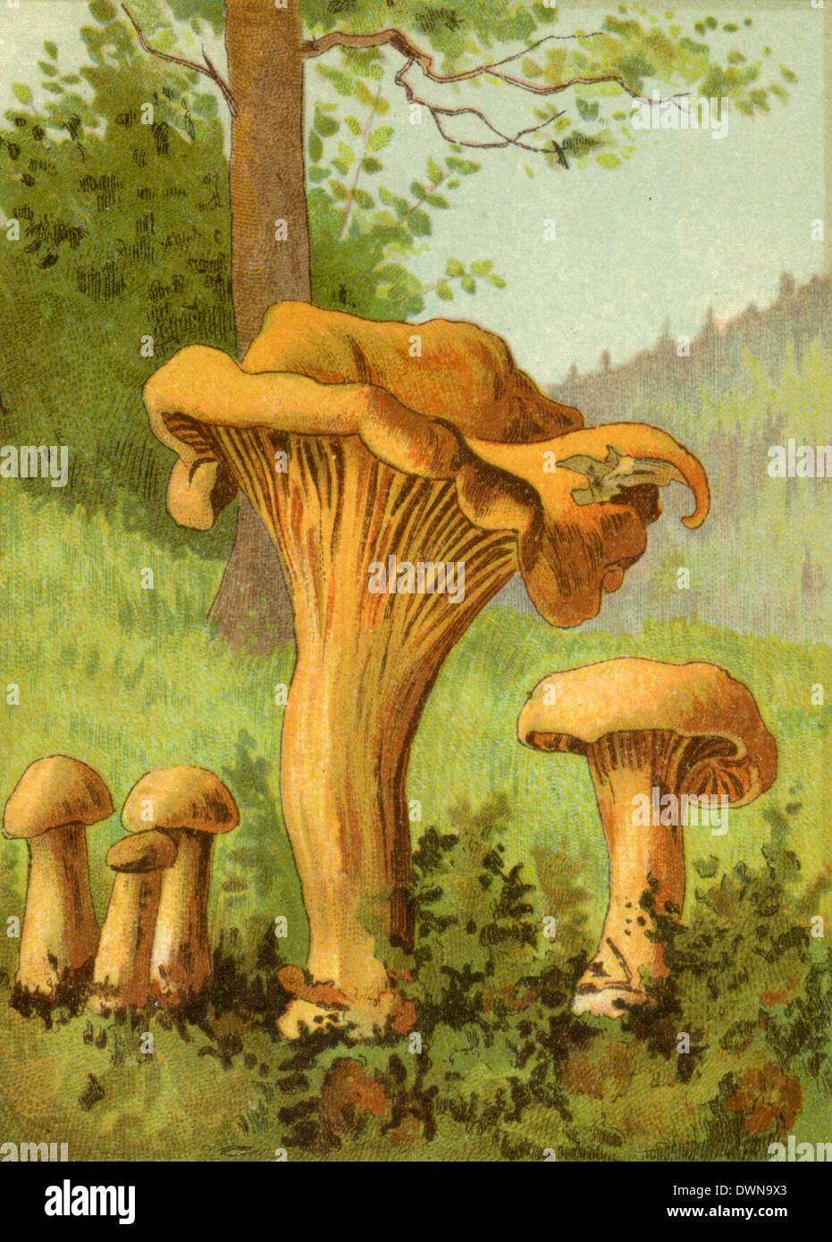 chanterelle, golden chanterelle or girolle - Stock Image