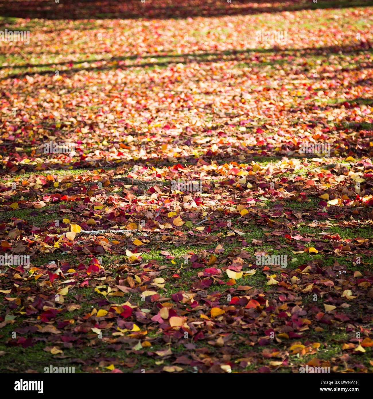 Japan Red Leaf on floor in winter - Stock Image