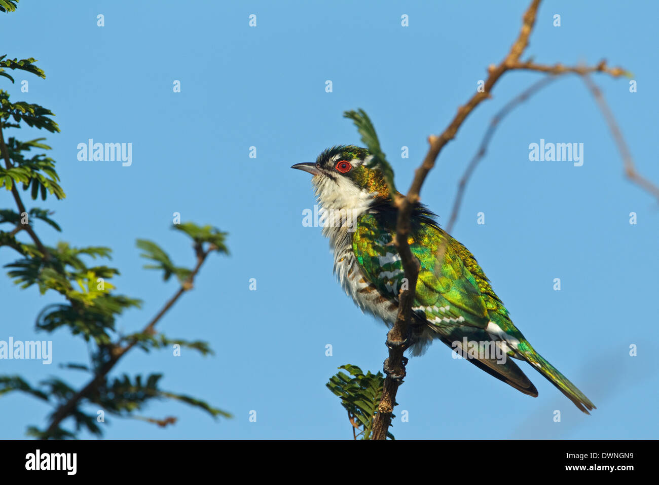 Diderik Cuckoo (Chrysococcyx caprius), male, Kruger National Park South Africa - Stock Image