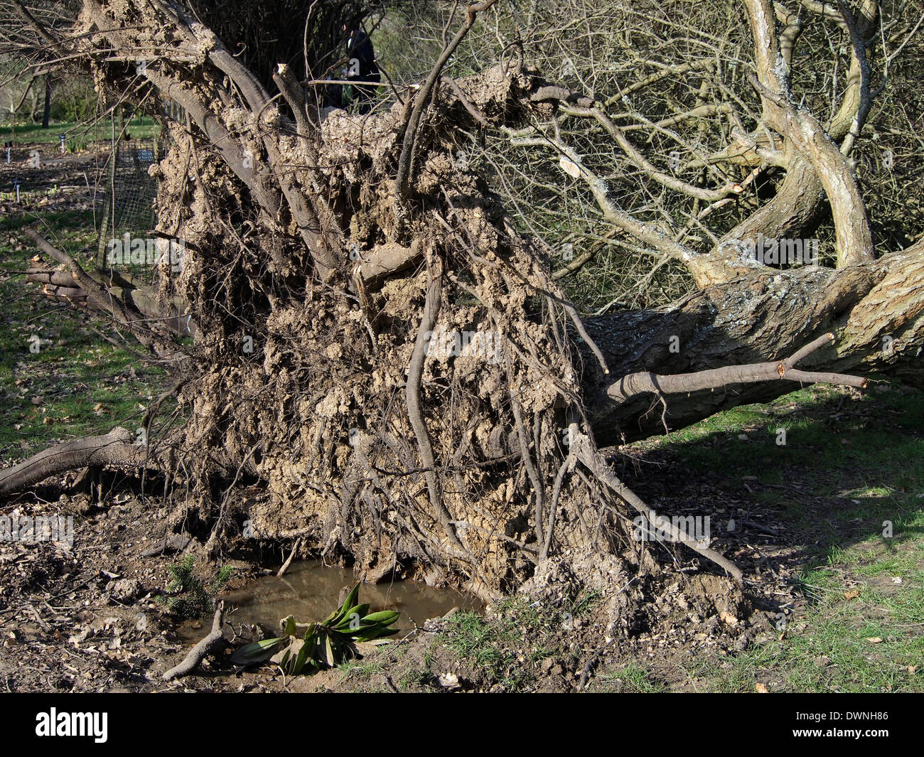 A fallen tree toppled by winter storms in early 2014 at Hillier Gardens showing the shallow root system, Stock Photo
