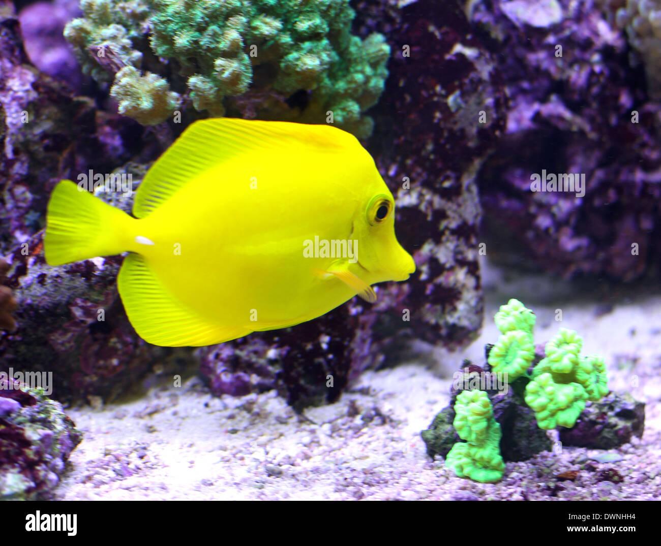 yellow tropical fish swimming in the warm sea - Stock Image